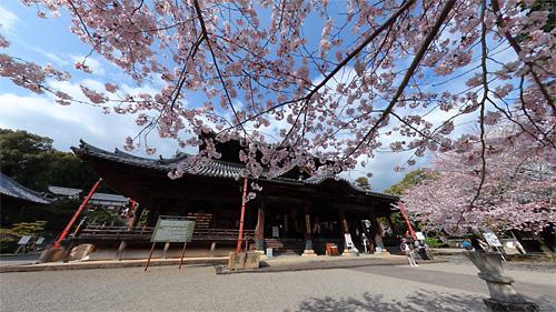 粉河寺の桜パノラマ(1)