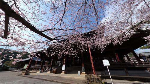 粉河寺の桜パノラマ(2)